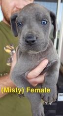 Great Dane Puppy for sale in DEVINE, TX, USA