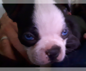 Boston Terrier Puppy for sale in INTERCESSION CITY, FL, USA