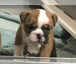 Small Photo #14 Bulldog Puppy For Sale in OAK RIDGE N, TX, USA