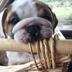 Bulldog Puppy For Sale in SAN ANTONIO, TX