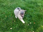 AKC registered Norwegian Elkhounds