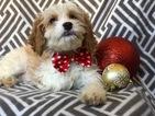 Cavapoo Puppy For Sale in CEDAR LANE, PA, USA
