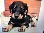 Doberman Pinscher Puppy For Sale in DES PLAINES, IL,