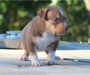 American Bully Puppy for sale in CRESTVIEW, FL, USA
