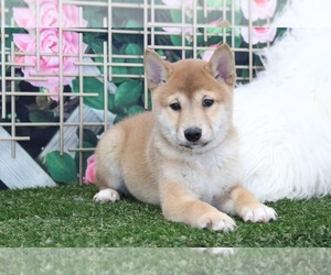 Shiba Inu Puppy for sale in MARIETTA, GA, USA