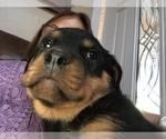 Small #18 Rottweiler