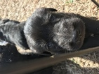 Shepadoodle Puppy For Sale in EDGEWOOD, TX, USA