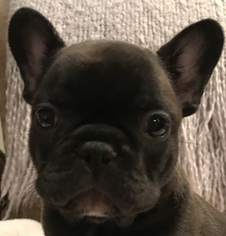 French Bulldog Puppy For Sale in OCALA, FL, USA