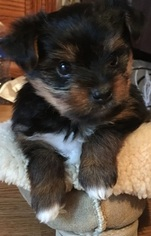 Yorkshire Terrier Puppy for sale in FAIRBANK, IA, USA