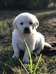 Golden Retriever Puppy For Sale in SPRING GREEN, WI, USA