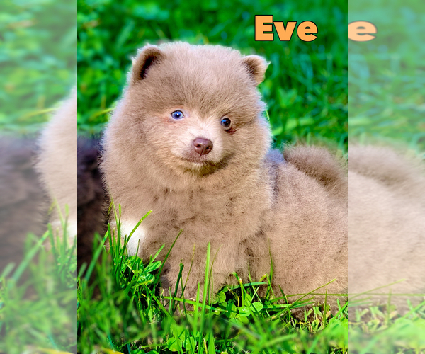 Medium Photo #1 Shih Tzu Puppy For Sale in BUFORD, GA, USA