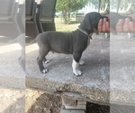 American Bully-American Pit Bull Terrier Mix Puppy For Sale in ZEPHYR, TX, USA