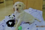 Labrador Retriever Puppy For Sale in TUSTIN, MI