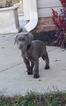Labrador Retriever Puppy For Sale in INMAN, SC