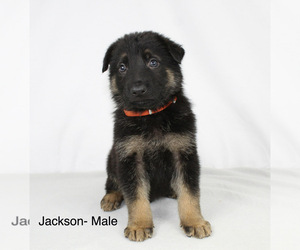 German Shepherd Dog Puppy for sale in DUENWEG, MO, USA