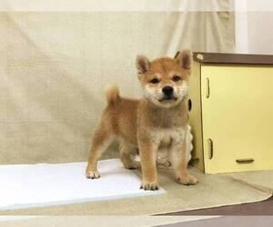 Shiba Inu Puppy for sale in SANTA MONICA, CA, USA