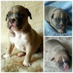 American Bully Puppy For Sale in CANYON LAKE, TX