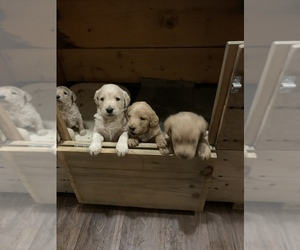 Labradoodle Puppy for sale in MILLINGTON, TN, USA