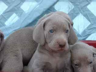 View Ad Weimaraner Puppy For Sale Near Oklahoma Amorita Usa Adn