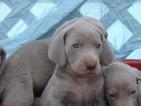 Weimaraner Puppy For Sale in AMORITA, Oklahoma,