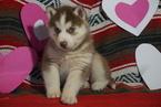 Siberian Husky Puppy For Sale near 44627, Fredericksbg, OH, USA