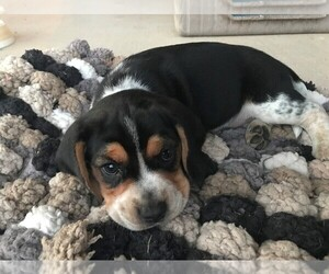 Beagle Puppy for sale in ALEDO, TX, USA