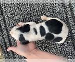 Puppy 2 Coonhound