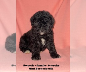 Miniature Bernedoodle Puppy for sale in CLARKRANGE, TN, USA