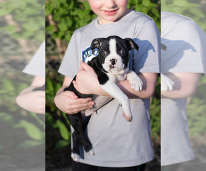 Boston Terrier Puppy for sale in MILWAUKEE, WI, USA