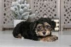 Morkie Puppy For Sale in MOUNT VERNON, Ohio,
