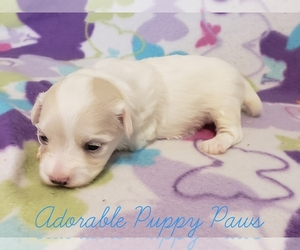 Maltese Puppy for Sale in ATHENS, Alabama USA