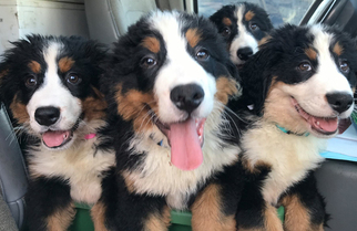Bernese Mountain Dog Puppy For Sale in BENSALEM, PA, USA