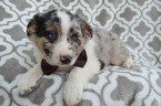 Miniature American Shepherd Puppy For Sale in LANCASTER, PA, USA
