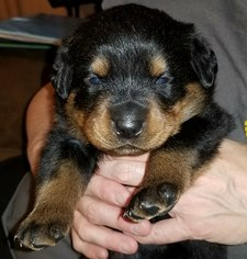 Rottweiler Puppy For Sale in WESLEY, AR, USA