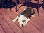 American Pit Bull Terrier Puppy For Sale in MILFORD, OH