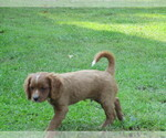 Small #1 Cavalier King Charles Spaniel-Poodle (Standard) Mix