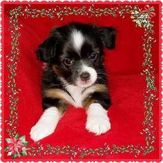 Miniature Australian Shepherd Puppy For Sale in PHOENIX, AZ