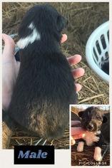 Australian Shepherd Puppy For Sale in ROMANCE, AR, USA