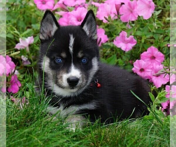 View Ad: Pomsky Puppy for Sale near Alabama USA