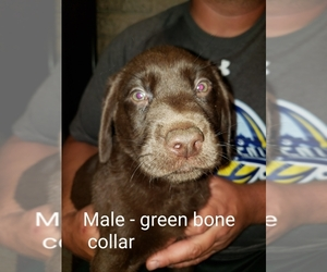 Labrador Retriever Puppy for Sale in CATAWISSA, Missouri USA