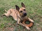 Dutch Shepherd Dog Puppy For Sale in MIAMI, FL, USA