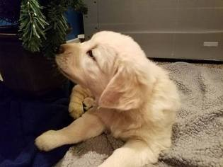 Golden Retriever Puppy For Sale in HUDSONVILLE, MI, USA