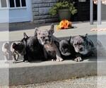 Small #9 Faux Frenchbo Bulldog