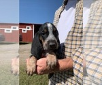 Puppy 2 Bluetick Coonhound