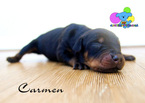 Doberman Pinscher Puppy For Sale in CORNING, CA, USA