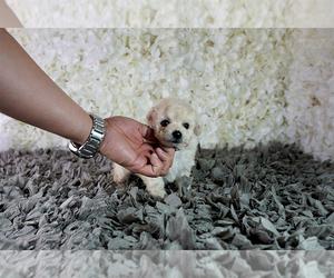 Maltipoo Puppy for Sale in FULLERTON, California USA