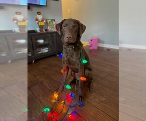 Labrador Retriever Puppy for sale in CLEVELAND, TN, USA
