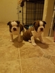 Boston Terrier Puppy For Sale in WILLOW SPRING, NC, USA
