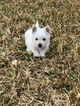 West Highland White Terrier Puppy For Sale in DALLAS, TX, USA