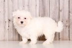 Maltese Puppy For Sale in MOUNT VERNON, OH,